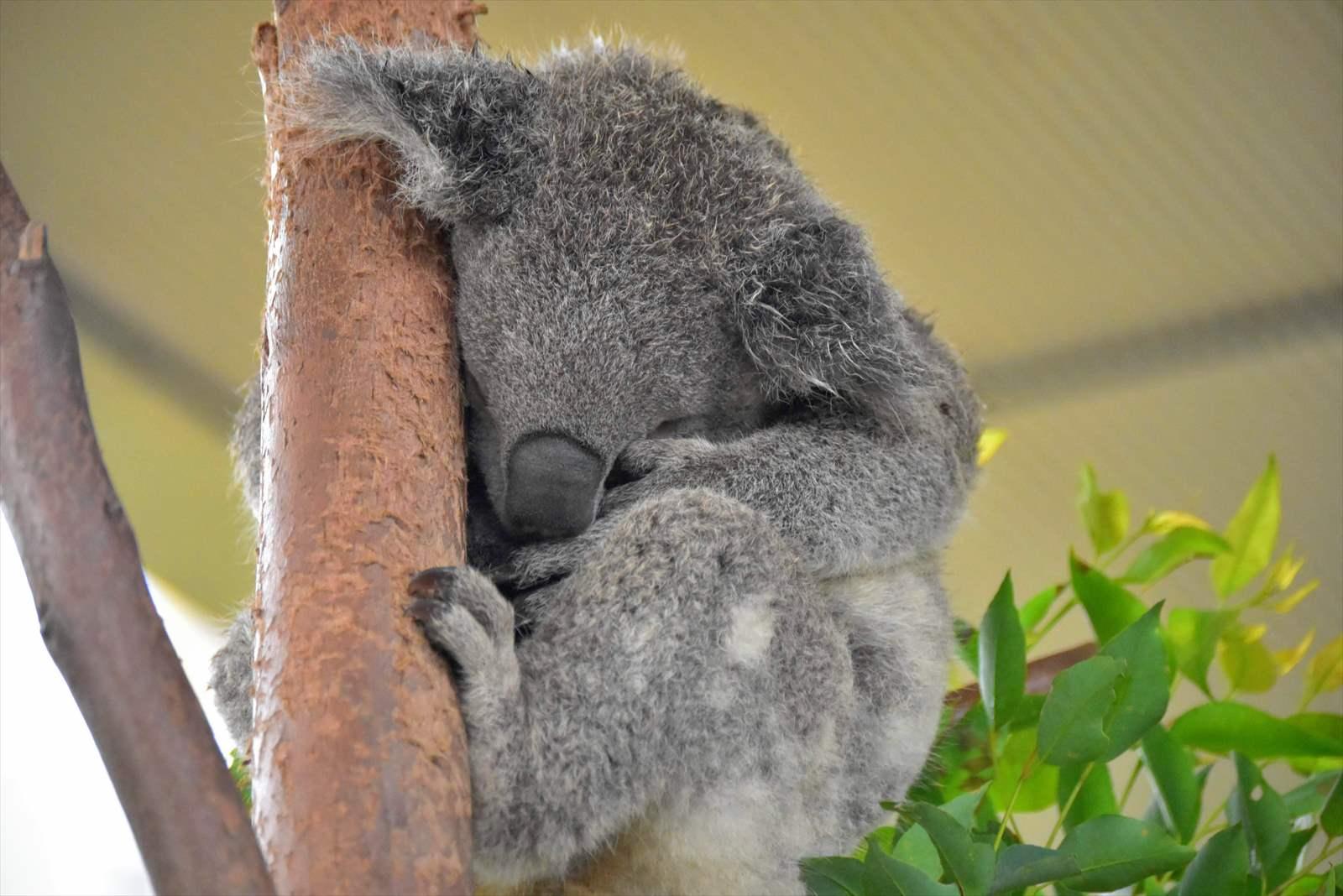 コアラ 募金 オーストラリア